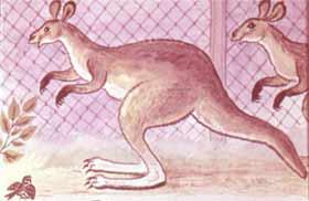 У хвостатых кенгуру.